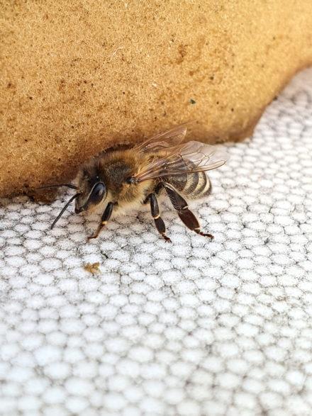 NKS bee